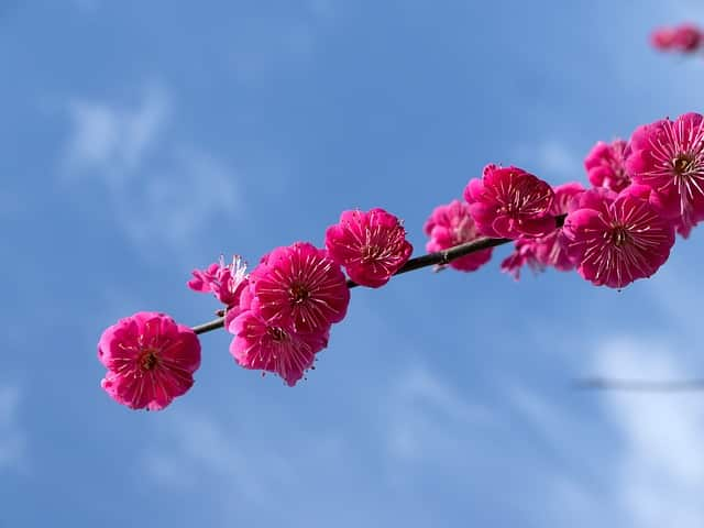 national flower of america national tree of china china national bird china national fruit national flower of japan national symbol of china national flower of taiwan official national flower china
