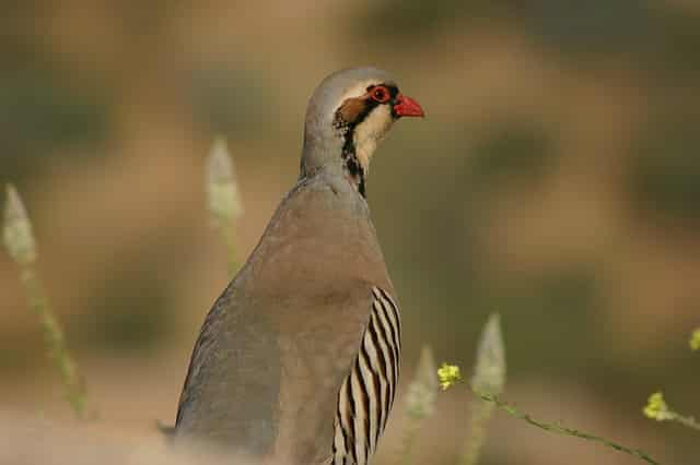 national bird of pakistan pakistan national flower pakistan national fruit national vegetable of pakistan national animal of pakistan national animal of pakistan in urdu pakistan national tree national mosque of pakistan Chukar partridge national bird of china