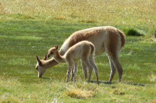 Peru National Animal, national animal of peru ,peru national bird,vicuna animal,vicuna animal for sale,vicuna sweater,vicuna yarn,vicuna scarf,vicuna pronunciation,vicugna