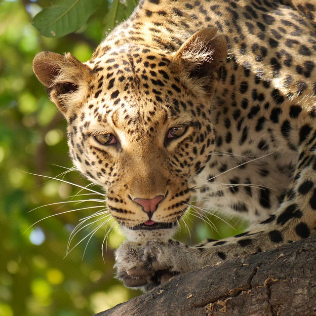 leopard-panther , national animal of Somalia