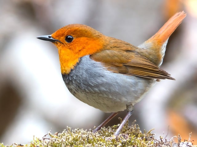national bird of UK national bird of BRITISH national bird of England  national bird of japan  national bird of australia  national bird usa  national bird of america  national bird of saudi arabia  national bird of thailand  national bird of pakistan  national bird of france